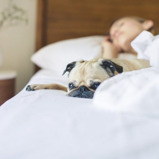 pug sleeping in white bed